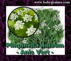 Pimpinella Anisum , Anis Vert