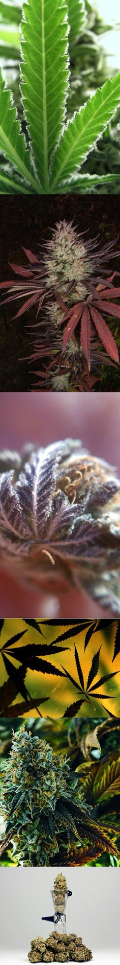 Different strains of beautiful Cannabis plant