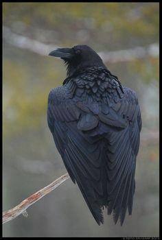 Raven Wings, Raven Bird, Raven Pictures, Animal Pictures, Scary Birds, Animal Photography, Raven Photography, Crows Ravens, Bird Artwork