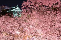 https://flic.kr/p/G3okzr | IMG19141_岡崎城 | お城と桜シリーズ