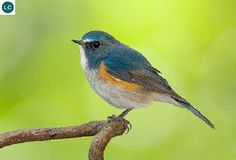 https://www.facebook.com/WonderBirdSpecies/ Red-flanked bluetail/Orange-flanked bush-robin (male)(Tarsiger cyanurus); Northern Asia and northeastern Europe; IUCN Red List of Threatened Species 3.1 : Least Concern (LC)(Loài ít quan tâm) || Oanh đuôi lam hông đỏ (trống); Bắc Á và đông-bắc châu Âu; HỌ ĐỚP RUỒI - MUSCICAPIDAE (Old World Flycatchers).