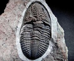 Piltonia carlakertisae Trilobite | #Geology #GeologyPage #Trilobite #Fossil  Name: Piltonia carlakertisae Brezinski 2000 Age: Lower Mississippian Location: Lake Valley Formation Caballero Mountains Sierra County New Mexico U.S.A. Size: 5 cm  Photo Copyright  American Museum of Natural History  Geology Page www.geologypage.com