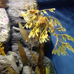 Sea dragon Underwater Creatures, Underwater Life, Ocean Creatures, Leafy Sea Dragon, Dragon Fish, Dragon Facts, Dragon Horse, Salt Water Fish, Freshwater Aquarium Fish