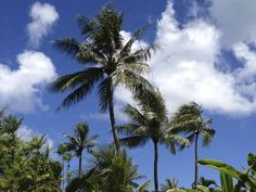 The best way to spend freedom is under a beautiful palm tree Saipan Island, Northern Mariana Islands, Pacific Ocean, Palm Trees, Freedom, United States, Plants, Travel, Beautiful