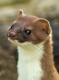 "Stoat * by: (Neptuno Photography)   Also known as the short-tailed weasel, is a species native to Eurasia and North America, distinguished from the least weasel by its larger size and longer tail with a prominent black tip.  The name ermine is often but not always used for the animal in its pure white winter coat, or the fur thereof.  It is nominated among the 100 ""world's worst invasive species""."