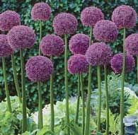 Love these flowers (Allium)!