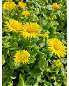 Poppy Parcels Buy Premium Irish Perennial Plants Online, Delivered Nationwide. Poppy Parcels Online Garden Centre Garden Centre, Agapanthus, Plants Online, Garden Plants, Perennials, Poppy, Irish, Herbs, Flowers