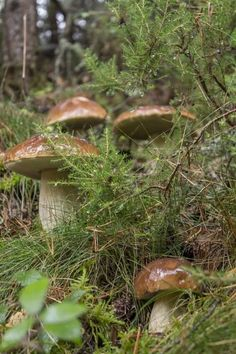 Mushrooms , W Ukraine