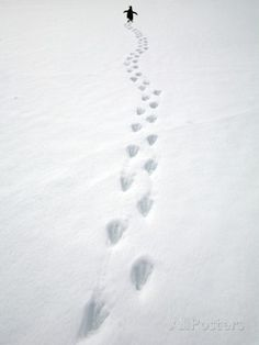 Gentoo Penguin Walking and Leaving Footprints in Snow Photographic Print by John Eastcott