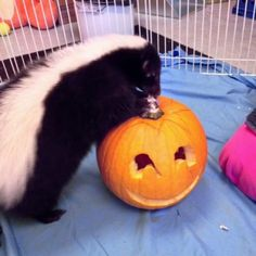 Skunk with pumpkin