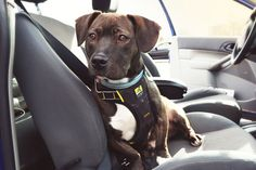 Kurgo Impact Harness - Crash tested with a 130 pound simulated dog - Lightweight and integrates directly with your car seatbelt system. No additional seatbelts, straps or attachments necessary - Constructed of a single piece of 4,000 pound tubular webbing with all-steel nesting buckles #travel #dog