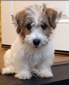 Baby Puppies, Baby Dogs, Cute Puppies, Cute Dogs, Dogs And Puppies, Doggies, Jack Russell Puppies, Jack Russell Terrier, Animals And Pets