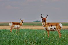 We saw lots of antelope driving in and out of the Great Sandhills, Saskatchewan Visit Canada, O Canada, Canada Travel, Rest Of The World, Wonders Of The World, All About Canada, Canadian Prairies, Canadian Wildlife, Family Destinations