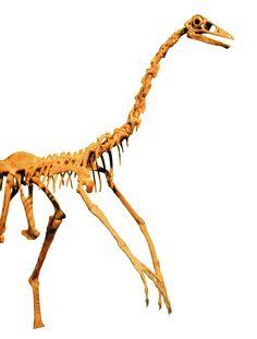 Ornithomimus edmontonicus, the Royal Ontario Museum, Toronto. Dinosauria, Saurischia, Theropoda, Ornithomimosauria, Ornithomimidae, Ornithomiminae. Auteur : Keith Schengili-Roberts, 2007.