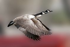 Canada Geese (Branta canadensis) in flight by pheαnix - off 6/29 - 7/8, via Flickr