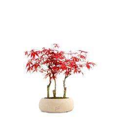 Nome: Acero rossoFamiglia: AceraceaePaese di provenienza: Giappone, Cina, CoreaDiametro del vaso: 15 cmAltezza da base vaso: 35 cmStoria e curiosità:èuno dei bonsai più scenograficigrazie al cambiamento di coloredelle foglie in base alle stagioni SPEDIZIONE GRATUITA