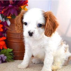 So adorable!! Cavalier King Charles Spaniel Puppy!