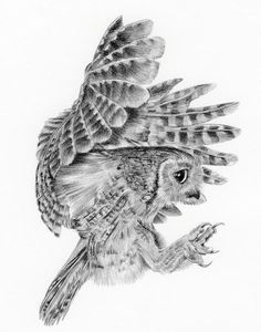 'little Owl' Print by Sue Miles Pencil Drawings Of Animals, Animal Sketches, Bird Drawings, Owl Sketch, Scratchboard Art, Owl Tattoo Design, Owl Pictures, Desenho Tattoo, Little Owl