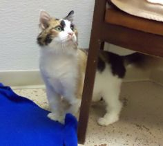 Baby is an adoptable Calico Cat in Pekin, IL Hi there, I'm BEAUTIFUL Baby and I am 9 years old.  I was on the waiting list for the shelter  ... ...Read more about me on @Petfinder.com.com