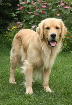 Charlie the Golden Retriever #Puppy #Dogs