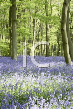 iCLIPART - Royalty Free Photo of Bluebells in a Woodlot