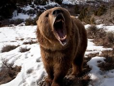 Image result for bear teeth winter