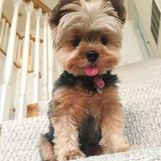 The Hottest Hairstyles for Your Dogs Yorkie Puppy For Sale, Yorkie Dogs, Cute Dogs And Puppies, Yorkies, Biewer Yorkie, Teacup Yorkie, Cute Baby Dogs, Cute Baby Animals, Yorkie Haircuts