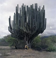 "giant cactus ""Candelabro Pachycereus Weberi"" in Oaxaca, Puebla..."