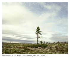9,550 year old spruce tree in Sweden