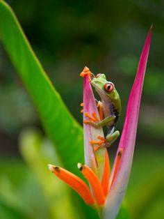 Red-Eye Tree Frog, Costa Rica Fotoprint  Volledig overzicht van dieren in Costa Rica op http://www.naturescanner.nl/wildlife-safari/costa-rica