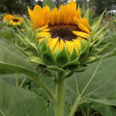 What's a summer day without sunflowers? #mossmountainfarm #joy #sunflower #gardening #sunshine #summertime