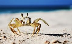 Crab on the beach in Barbados