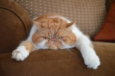 Presenting Garfield the cat. Animals, cats, pets, grumpy, exotic shorthair