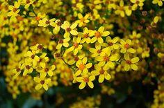 Ethiopian New Year Flower