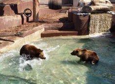 Allo Zoo di Napoli nuovi giochi per i due giovani orsi bruni Mike ed Hellen