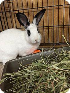 Boz ! #adoptdontshop #animalrescue #bunnies #rabbits