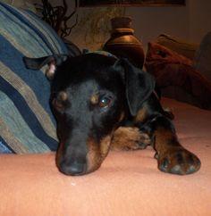 Terriers, Dogs And Puppies, German, Cute Animals, Hunting, Deutsch, Pretty Animals, German Language, Terrier