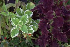 Plectranthus coleoides and Solenostemon 'Black Dragon'