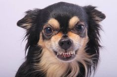 Although they're little, they are fierce. Here are 10 things you know about know chihuahuas.