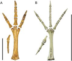 Sylviornis foot bones (left) compared to the extant, mould building Malleefowl of Australia (right).