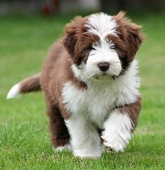Bearded collie photo - They are so beautiful & sweet.wonderful puppies and dogs! Cute Puppies, Cute Dogs, Dogs And Puppies, Collie Dog, Border Collie, Bearded Collie Puppies, Old English Sheepdog, Dog Names, Beautiful Dogs