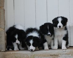 Border Collie puppies - makes me want more b.c's