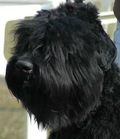 black russian terriers | Black Russian Terriers - Adult and Puppies