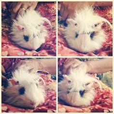 RIP PUTIH, my lovely guinea pig :(