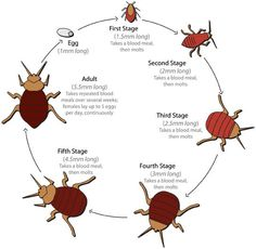 bed bugs - Various stages of growth #bed bugs #education #health
