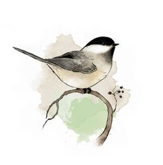 Black capped chickadee, art print of my own original illustration. Printed on x 11 Hahnemühle sugar cane fine art paper. Watercolor Animals, Watercolor And Ink, Watercolor Paintings, Watercolors, Watercolor Trees, Watercolor Portraits, Watercolor Landscape, Abstract Paintings, Art Paintings