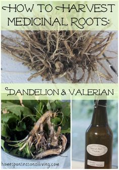 to Harvest Medicinal Roots : Dandelion amp; Valerian How to Harvest Medicinal Roots: Dandelion amp; Valerian - Homespun Seasonal LivingHow to Harvest Medicinal Roots: Dandelion amp; Natural Health Remedies, Natural Cures, Natural Healing, Herbal Remedies, Natural Treatments, Natural Foods, Cold Remedies, Natural Oil, Natural Beauty
