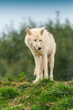 Arctic Wolf by Patrick Walker - in A.w.N. for Earth