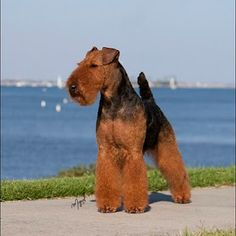 Thought of my sister!!!  Miss Mr. Murphy......Welsh Terrier, GCH CH Bayleigh Shareibs  Super Hero