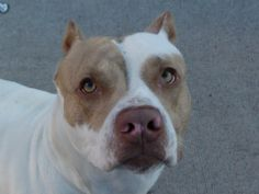 TO BE DESTROYED - 12/16/13  Brooklyn Center -P   My name is GOTTI. My Animal ID # is A0987009.  I am a male white and tan pit bull mix. The shelter thinks I am about 1 YEAR 6 MONTHS old.   I came in the shelter as a STRAY on 12/09/2013 from NY 11208, owner surrender reason stated was STRAY.    MOST RECENT MEDICAL INFORMATION AND WEIGHT  12/14/2013 Exam Type RE-EXAM - Medical Rating is 3 C - MAJOR CONDITIONS , Behavior Rating is EXPNOCHILD, Weight 60.2 LBS.